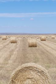 Hay as far as the eye can see