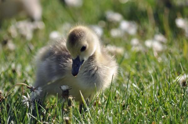 DSC_0975 gosling 2