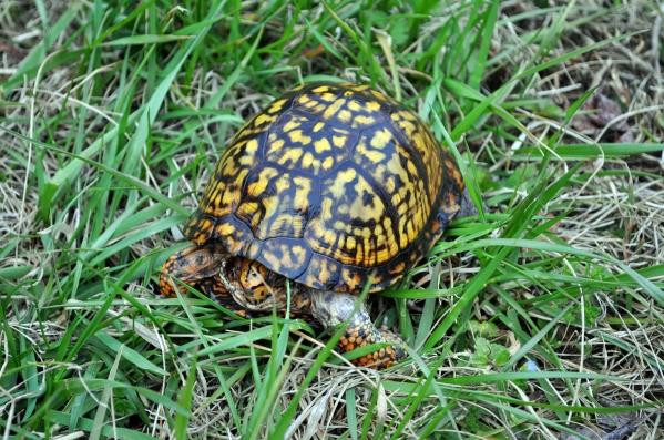 DSC_0356 turtle