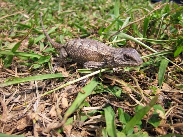 IMG_0678 lizard